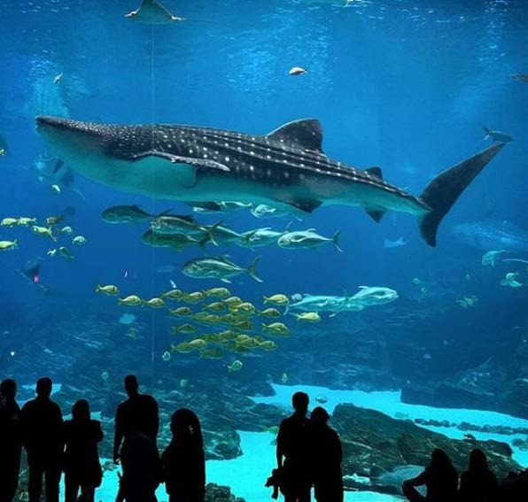 People watching a whale shark at the Georgia Aquarium