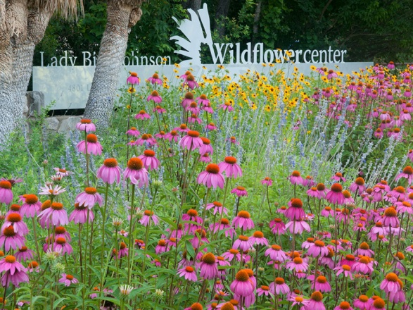 Coneflowers at the entrance to the Lady Bird Johnson Wildflower Center